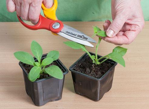 как обрезать рассаду